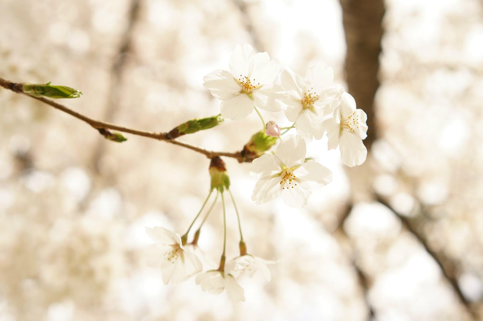 写真撮影日記003 桜3