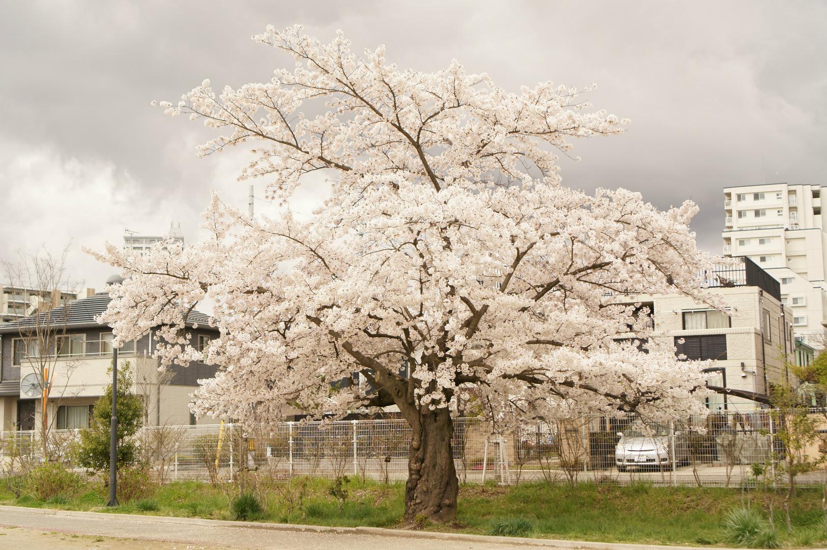 写真撮影日記003 桜8